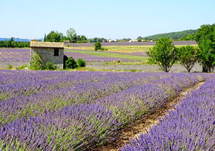 The lavander trail