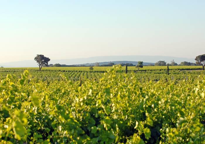 Quiot family vineyards