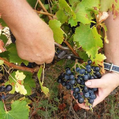 Discover harvest times at Domaine Beauvalcinte