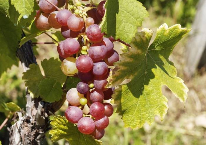 Ateliers « Vins et Terroirs » Les Vins de Châteauneuf-du-Pape