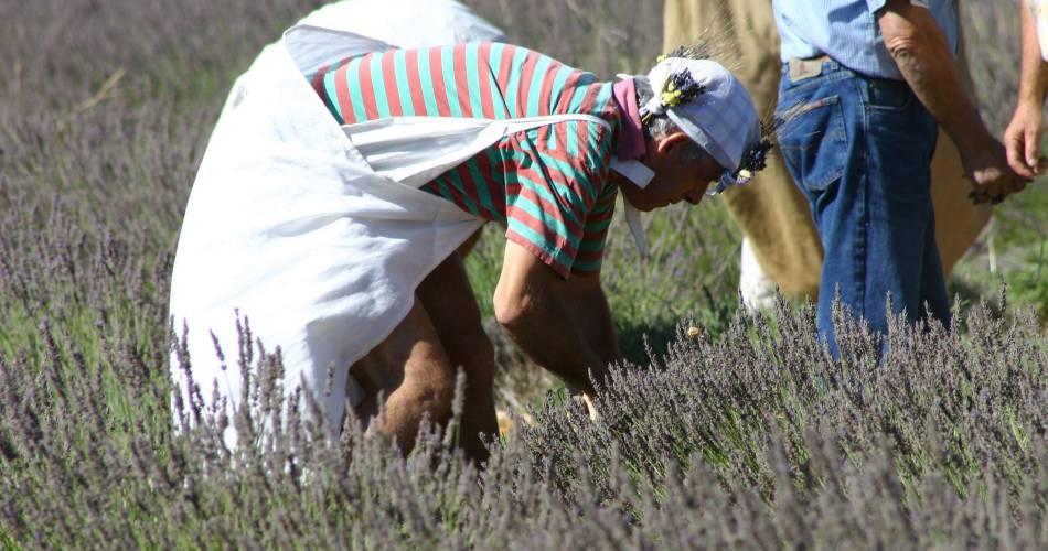 Cancelled - Lavender Celebration@HOCQUEL Alain / coll. Vaucluse Provence