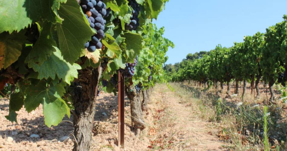 Discovery of the harvest at Clos de Caveau@Clos de Caveau