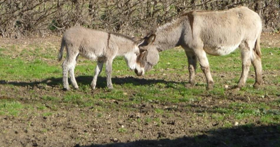 Balades en calèche avec des ânes attelés@Les ânes de Pernes